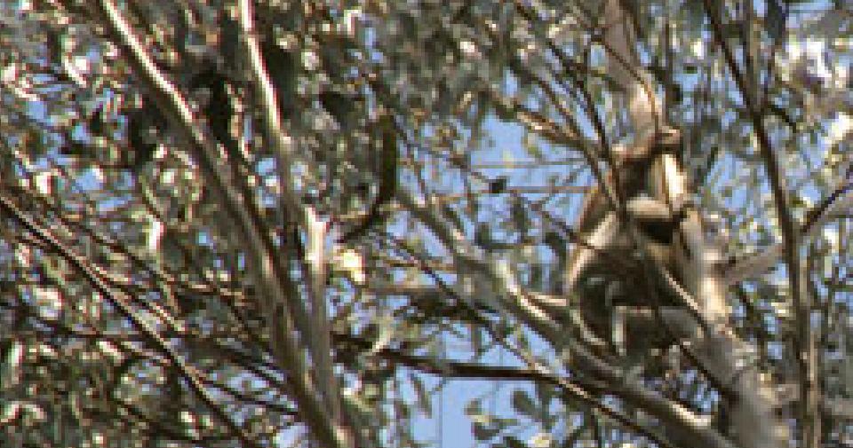 Koala picture