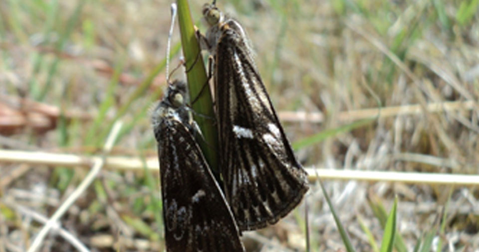 Striated Sun Moths