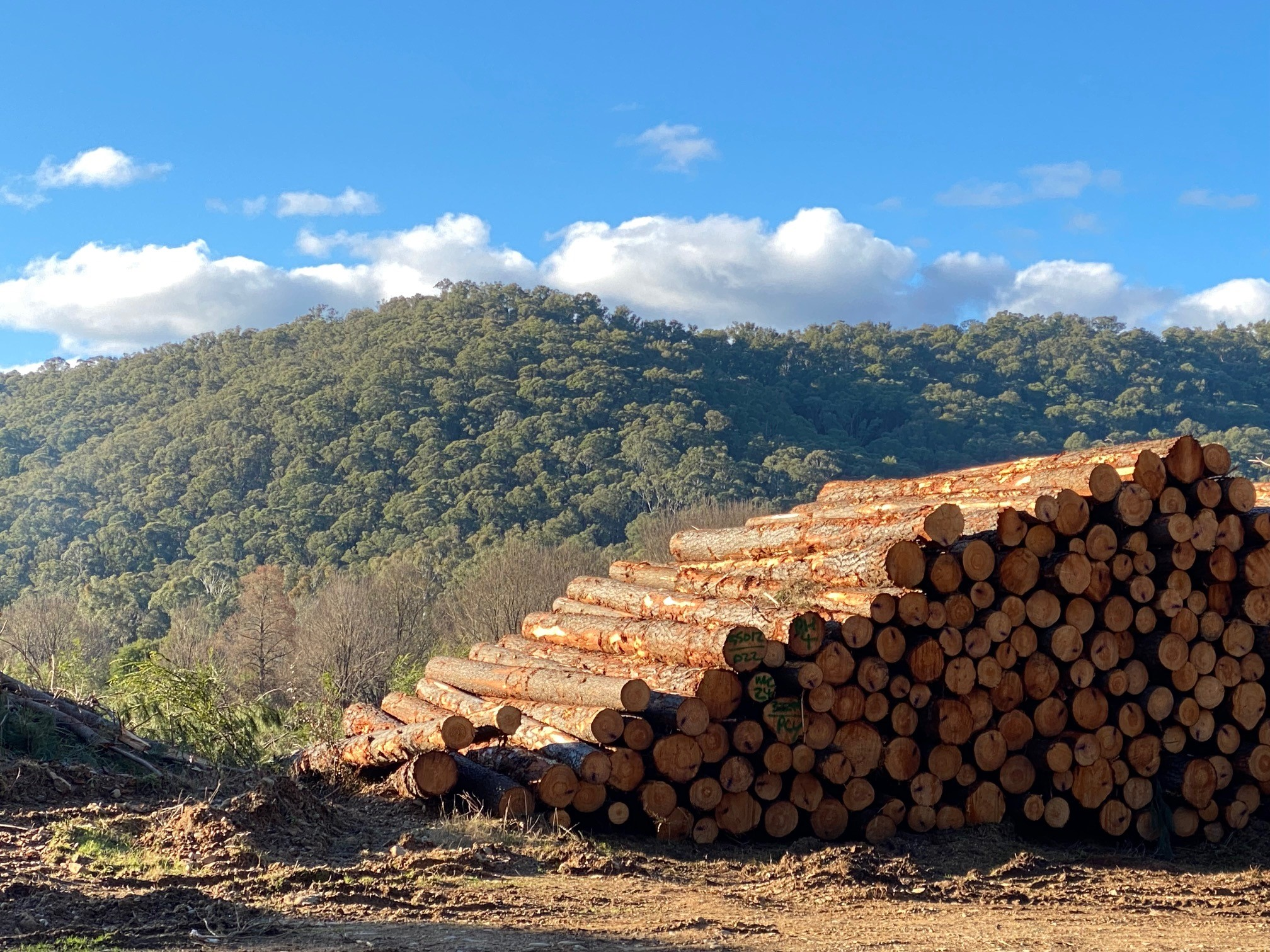 A stack of pine logs ready for transport.